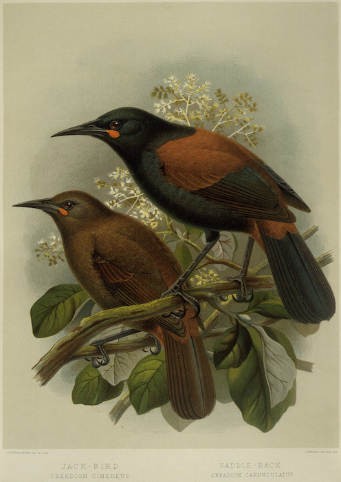 Keulemans, John Gerrard 1842-1912 :Jack-bird. Creadion cinereus. Saddle-back. Creadion carunculatus / J. G. Keulemans delt. & lith. Judd & Co., Imp. [Plate III. 1888].