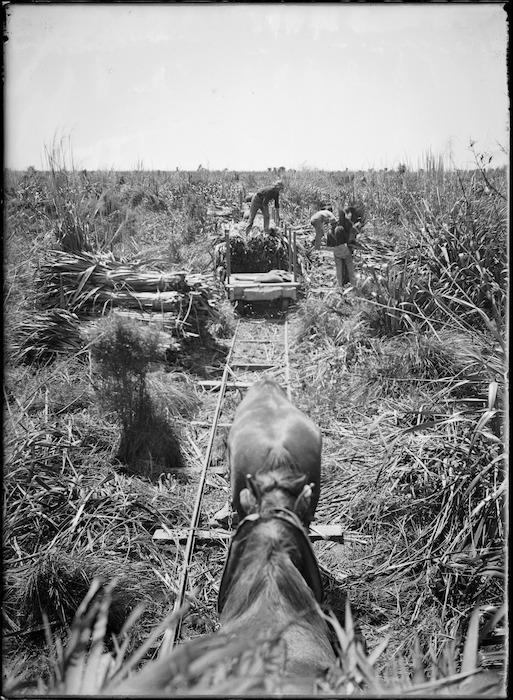 Loading cut flax in Makerua