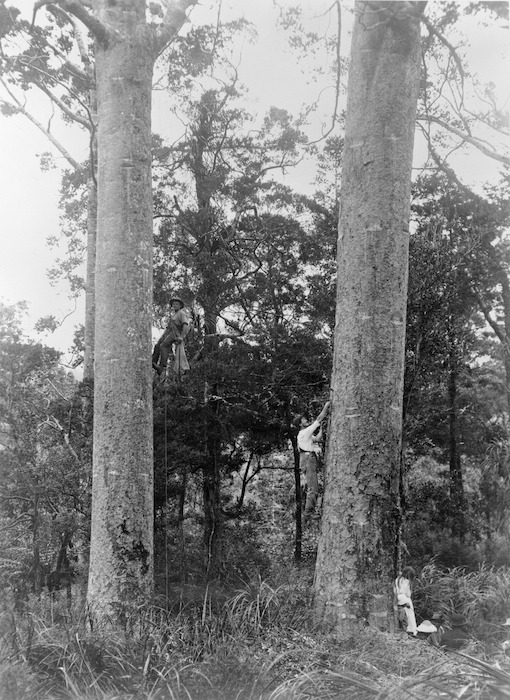 Two kauri gum climbers tapping gum from kauri trees