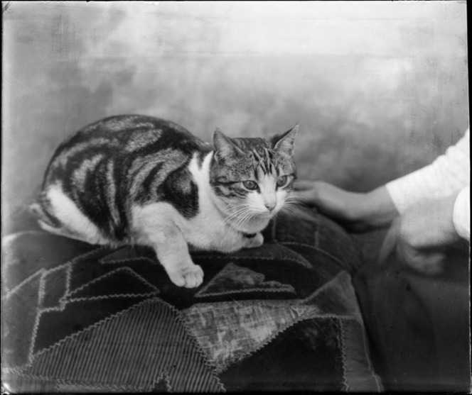 Studio portrait of unidentified tabby cat sitting on a cushion with owners hands showing, Christchurch
