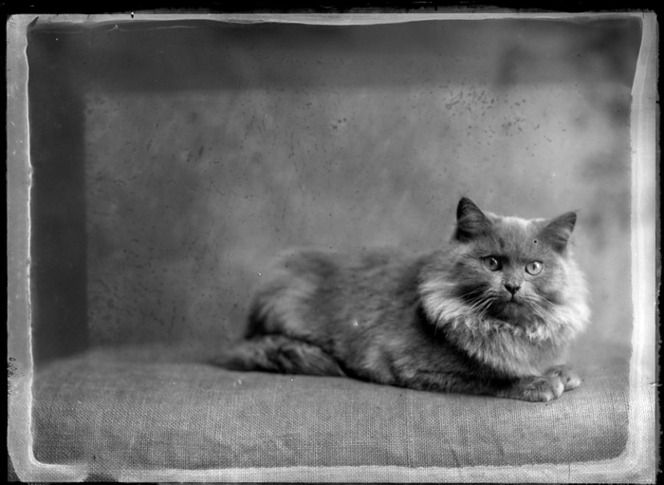 Portrait of a long-haired cat, sitting on a hessian cloth, possibly Christchurch district