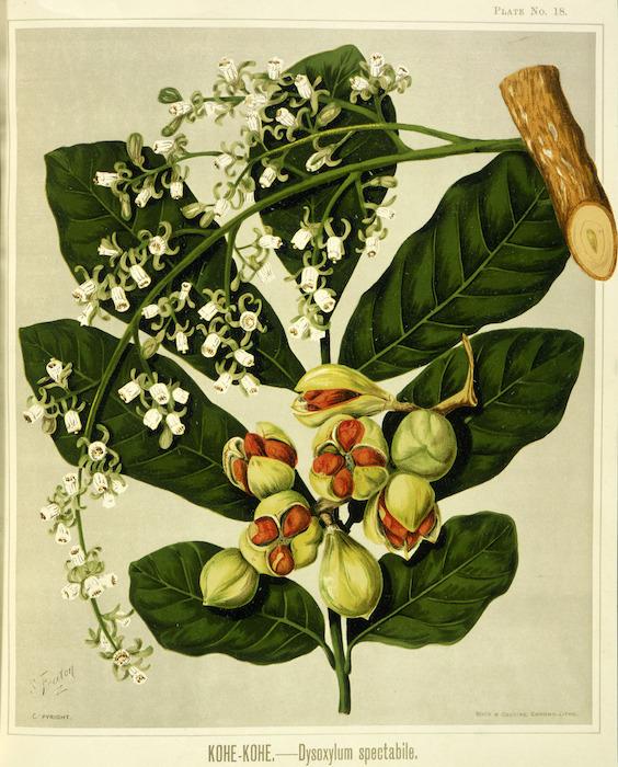 Featon, Sarah Anne, 1848-1927 :Kohe-kohe - Dysoxylum spectabile. Bock and Cousins Chromo-Litho. [Wellington, 1889]