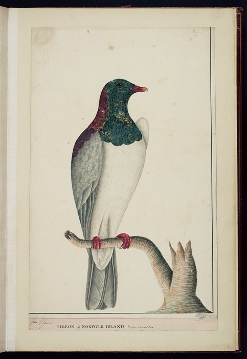 Raper, George, 1769-1797: Pigeon of Norfolk Island 1/3 Less Natural Size. Geo. Raper. 1790 [Norfolk Island pigeon (Hemiphaga novaeseelandiae spadicea)]