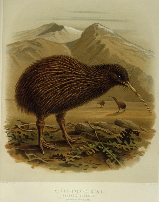 Keulemans, John Gerrard, 1842-1912 :North-Island kiwi. Apteryx Bulleri (two-fifths natural size). / J. G. Keulemans delt. & lith. [Plate XLVII 1888].