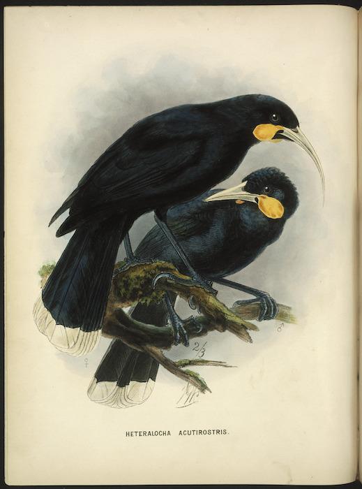 Keulemans, John Gerrard, 1842-1912 :Heteralocha acutirostris [Huia. Male and female] 2/3 [natural size]. London, 1873