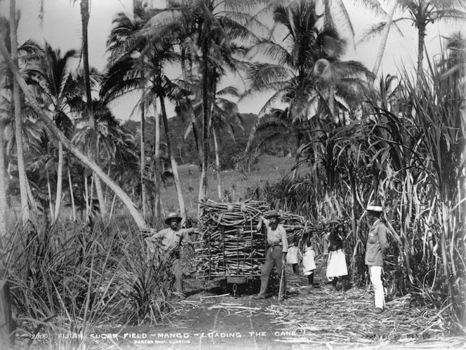 Burton Brothers 1868-1898 :View of men loading sugar cane in the fields in Mango