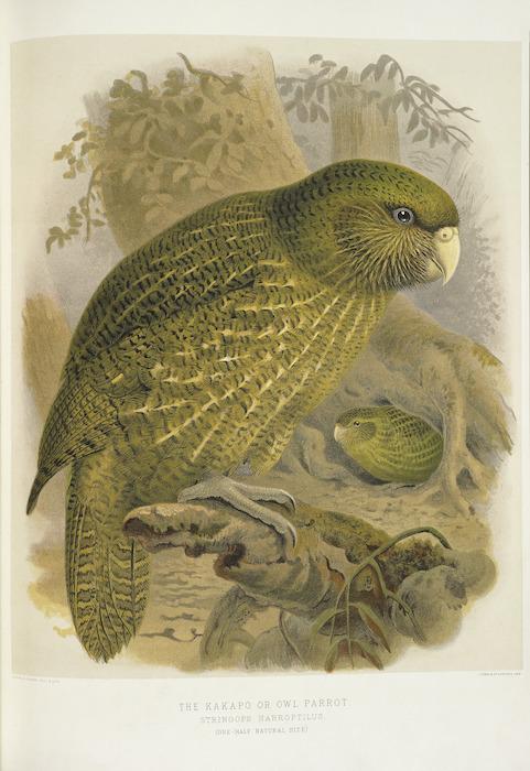 Keulemans, John Gerrard 1842-1912 :The kakapo or owl parrot. Stringops habroptilus. (One-half natural size). / J. G. Keulemans delt. & lith. [Plate XIX. 1888].