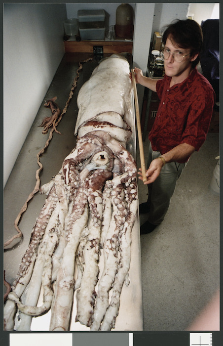 Steve O'Shea, biological curator with Niwa Research, works on a giant squid - Photograph taken by Craig Simcox