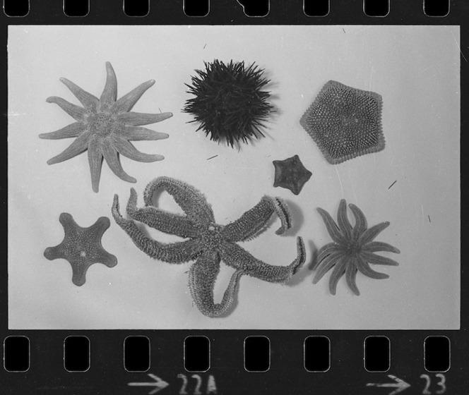 Preserved starfish and kina mounted on a wall