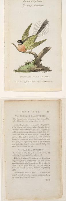 [Latham John] 1740-1837 :Fantail fly catcher. Order 6th, Passeres. Genus 75 Muscicapa. 1791