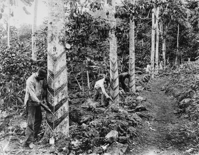 Tapping rubber trees in Samoa | Items | National Library of