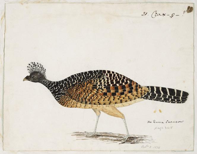 [Tempsky, Gustavus Ferdinand von], 1828-1868:The Queen Curasow. 1856]