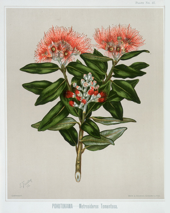 Featon, Sarah Anne, 1848-1927 :Pohutukawa. Metrosideros tomentosa. Bock and Cousins Chromo-Litho. [Wellington, 1889]