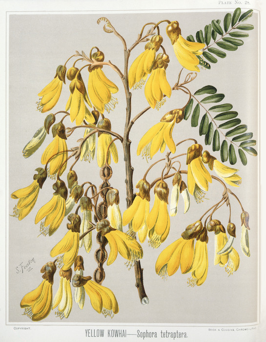 Featon, Sarah Anne, 1848-1927 :Yellow kowhai. Sophora tetraptera. Bock and Cousins Chromo-Litho. [Wellington, 1889]