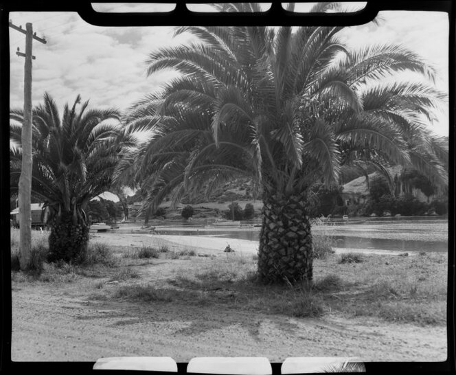Palm trees along the shoreline, Whitianga harbour