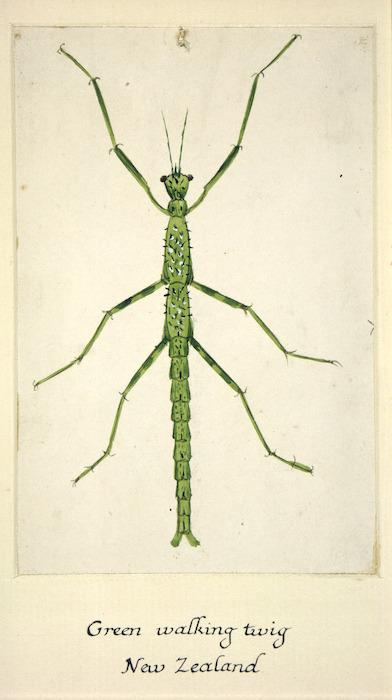 Backhouse, John Philemon, 1845-1908 :Green walking twig. New Zealand. [ca 1880]