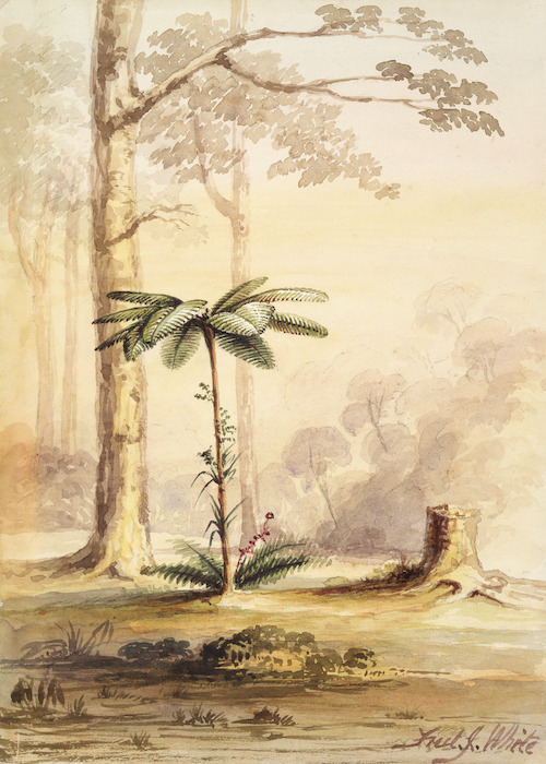White, Frederick John, fl. 1837-1848 :[Black tree-fern or mamaku, Hutt Valley? 1848 or 1849]