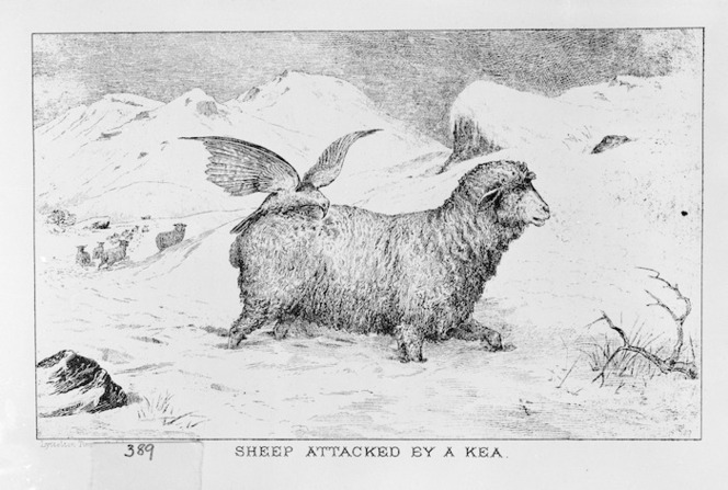 Artist unknown :Sheep attacked by a kea. [Christchurch] Lyttelton Times Co Ltd [1882]