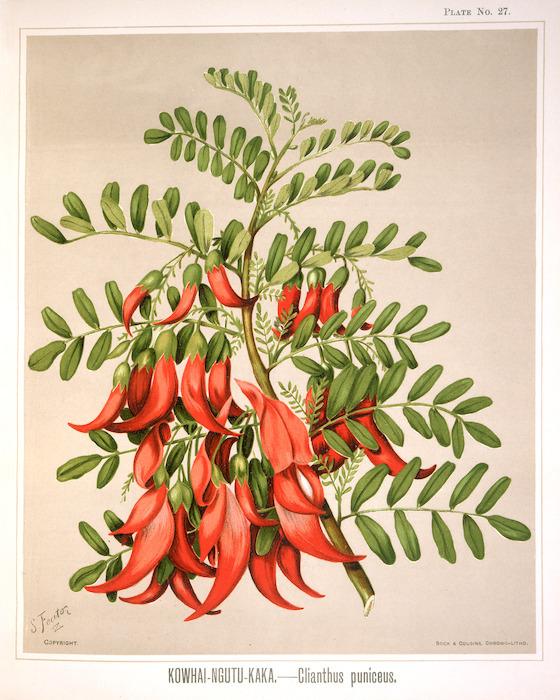 Featon, Sarah Anne, 1848-1927 :Kowhai ngutu kaka - clianthus puniceus. S. Featon. Bock and Cousins Chromo-Litho. [Wellington, 1889]