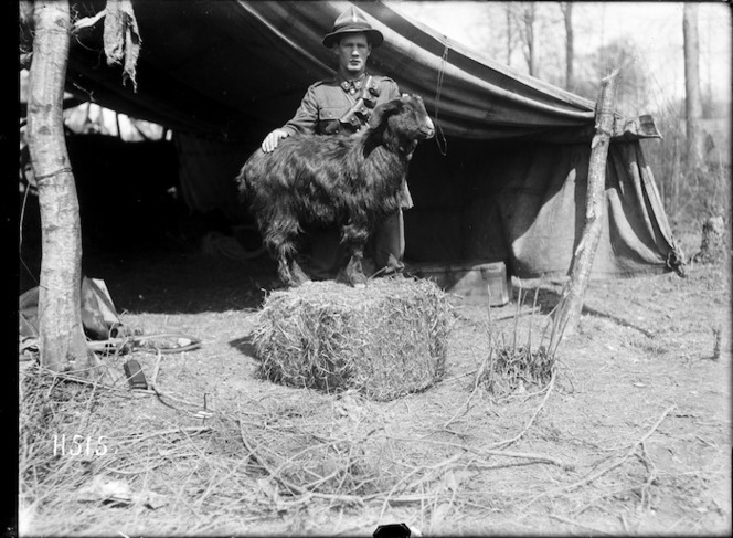 The goat mascot of the New Zealand Engineers, France. Royal New Zealand Returned and Services' Association :New Zealand official negatives, World War 1914-1918. Ref: 1/2-013133-G