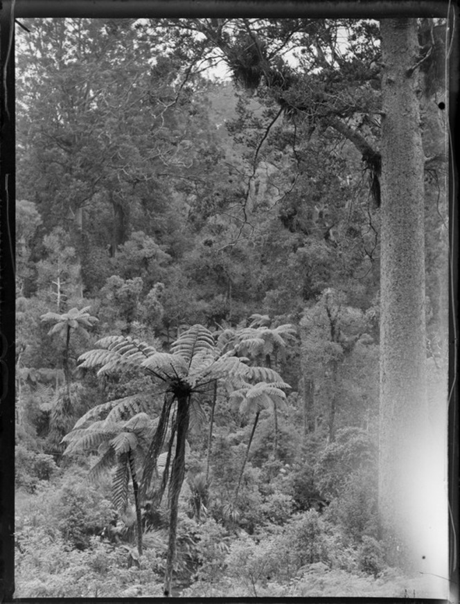 A view of native ferns and bush, with a giant Kauri tree in the foreground, Waipoua Kauri Forest, Northland