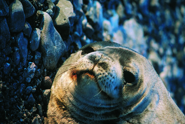 Image: Face of Weddell seal, Franklin Is.
