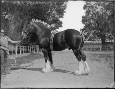 Image: Close-up view of a Clydesdale draught horse with decorations attached to its mane, with a man [Thompson] holding the bridle, farm setting, Hawke's Bay District