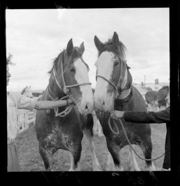 Image: Two Clydesdale draft horses with rope face harness being held by obscured people, at Royal Show, Palmerston North