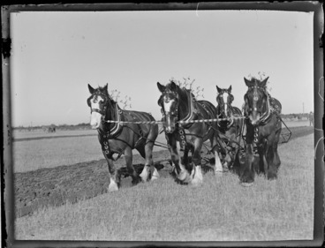 Image: View of four Clydesdale draught horses with decorated bridles and harness ploughing a field at an unknown [A & P Field Day Show] of unknown location