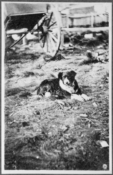Image: Sheep dog owned by James MacKenzie