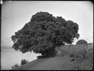 Image: Pohutukawa tree, Maketu Pa, Kawhia Harbour