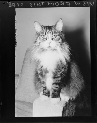 Image: Fluffy cat in armchair
