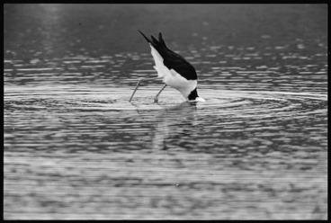 Image: Pied stilt, Pauatahanui Inlet, Porirua Harbour - Photograph taken by Ross Giblin