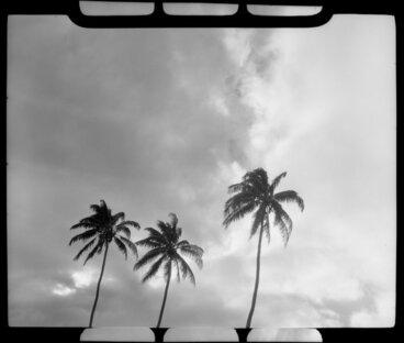 Image: Coconut Palm trees, Fiji