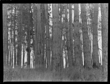 Image: Pine forest at Tokoroa