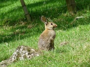Image: European Rabbit