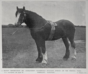 Image: A recent importation: Mr Alexander's Clydesdale Atallion Knight of the thistle, Waihi, Normanby, Taranaki.