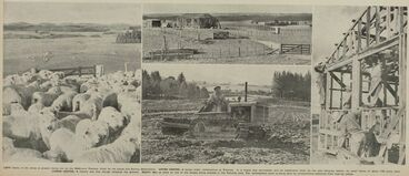 Image: Left: Some of the sheep at present being run on the 3000-acre Tokoroa block by the Lands and Survey Department. UPPER CENTRE: A house under construction at Tokoroa. It is hoped that servicemen will be established there by the next dairying season, on small farms of about 140 acres each. LOWER CENTRE: A tractor and disc plough prepares the ground. RIGHT: Men at work on one of the houses being erected in the Tokoroa. area. The development work is being done by conscientious objectors from near-by camps.