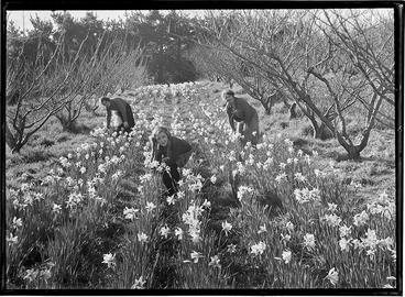 Image: Daffodil Picking Titirangi