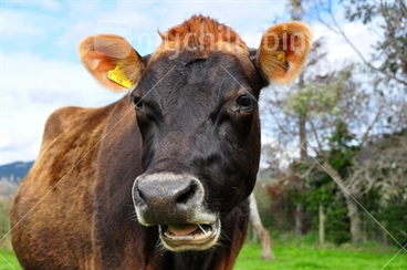 Image: Jersey Cow