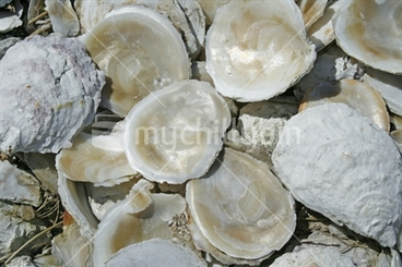 Image: A pile of shiny pearl-like discarded bluff oyster shells.