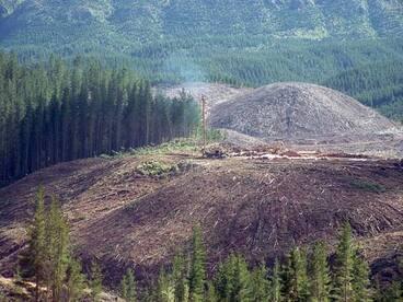 Image: Logging pine forest