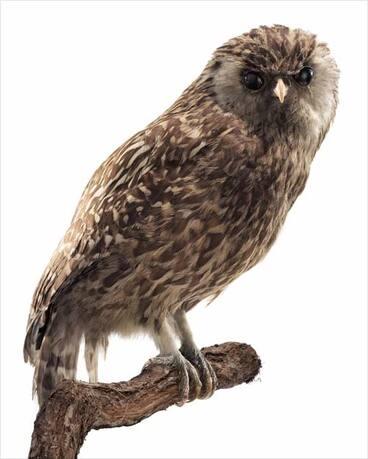Image: Laughing owl