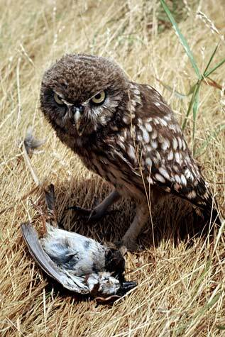 Image: Little owl