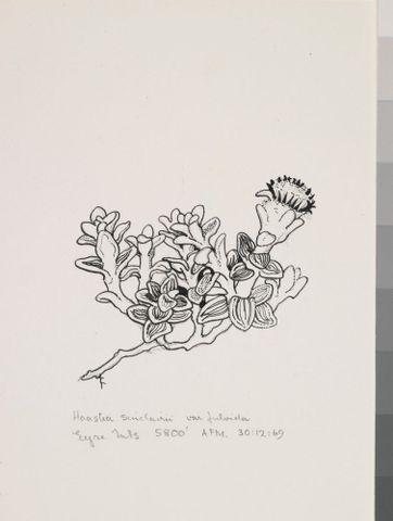 Image: Asteraceae - Haastia sinclairii var. fulvida
