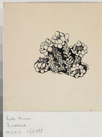 Image: Asteraceae - Leucogenes grandiceps