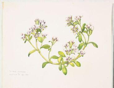 Image: Gentianaceae - Gentiana concinna