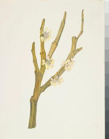 Image: Fabaceae - Corallospartium