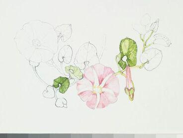 Image: Convolulaceae - Calystegia soldanella