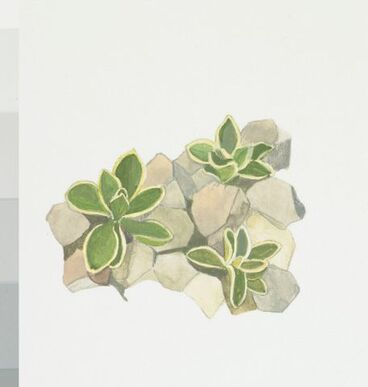 Image: Campanulaceae - Wahlenbergia cartilaginea